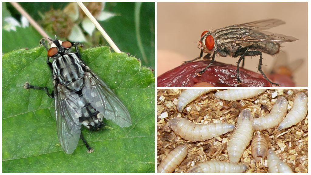 Et sineği