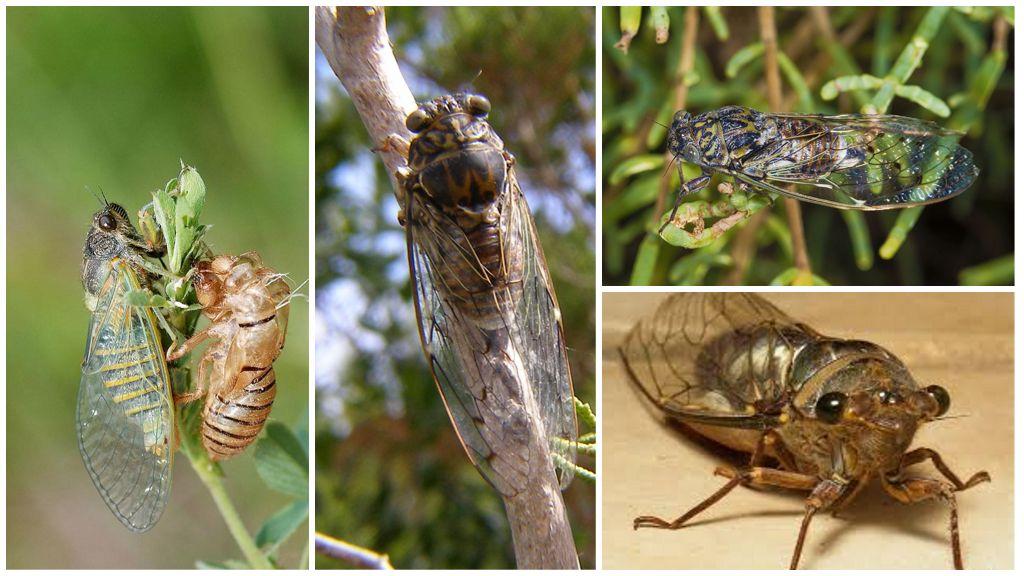 Ortak Cicada