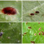 Örümcek akarı ve larvaları