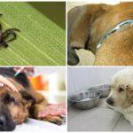 Köpeklerde Piroplazmoz