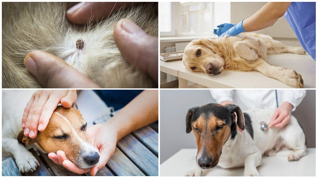 Piroplazmoz için köpeklerin tedavisi