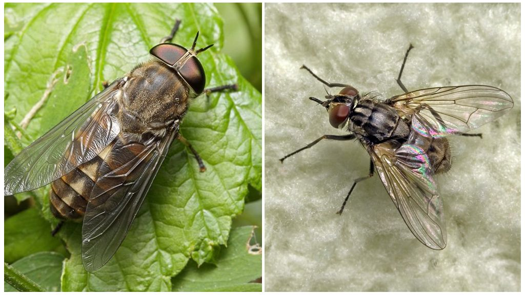 Gadfly (solda) ve bokböceği (sağda)