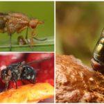 Besleme sinekler