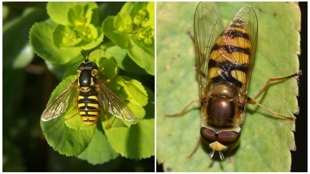 Hoverfly Fly