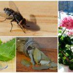 Dairede sinekler korkutmak için bitkiler