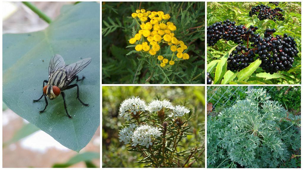 Özel bir evde, ülkedeki sinekleri yok eden bitkiler
