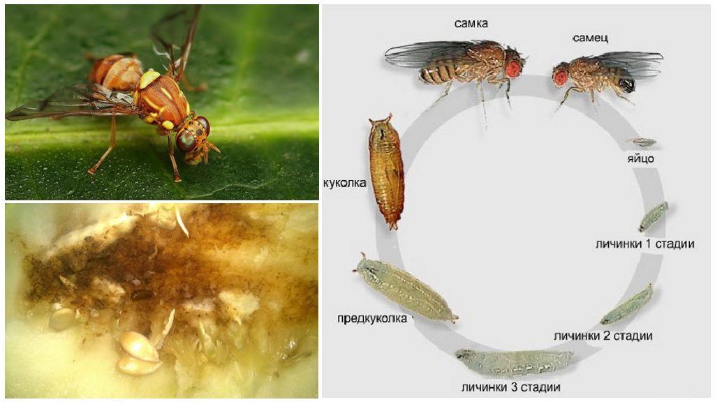 Bir kavun sinekinin gelişme döngüsü