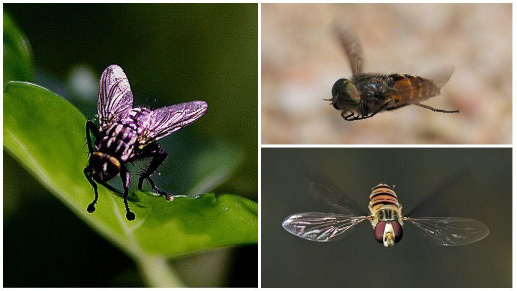 Uçan sinek
