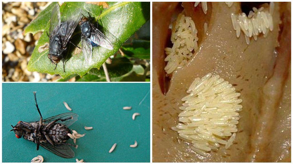 Yumurta ve sinek larvaları
