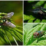 Yeşil sinek