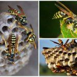 Yaban arısı hayatı