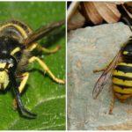 Orman yaban arısı