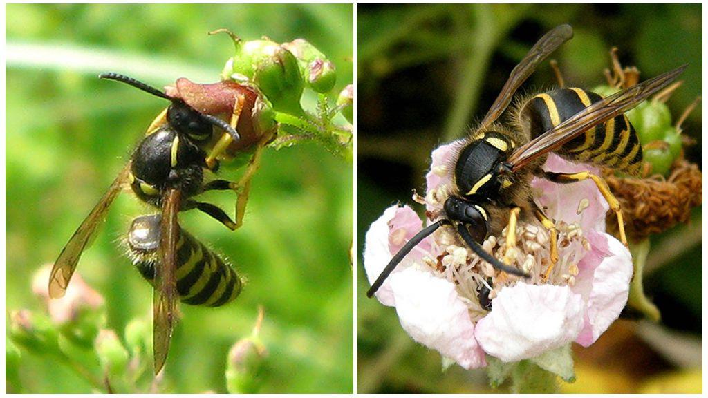 Orman Wasp Besleme