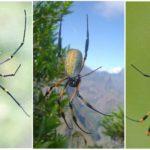 Büyük ağaç orb-web örümcekler
