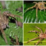 Brezilyalı göçebe örümcek