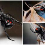 Kara dul örümceği