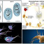 Yaşam Döngüsü Giardia
