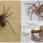Ev Örümceği (Tegenaria domestica)