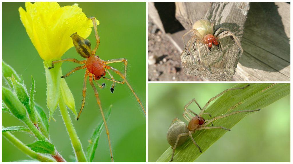 Sarı Örümcek Kesesi