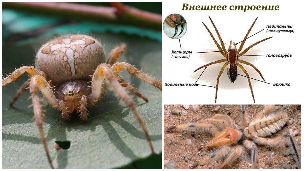 Örümcek bacakları