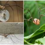 Örümcek fide (kosynozhka)