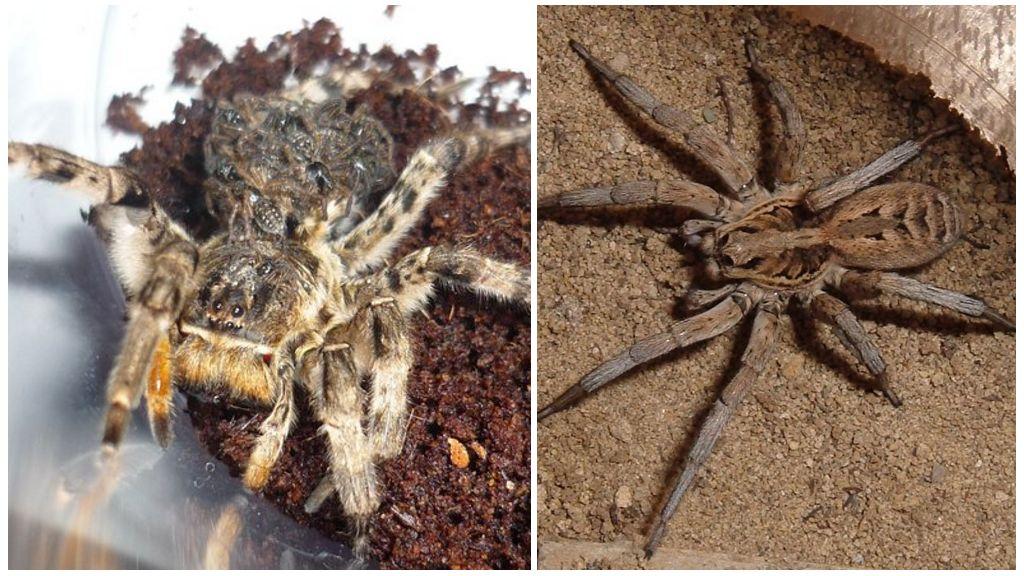 Güney Rus tarantula