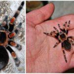 Meksikalı örümcek tarantula
