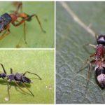 At örümcek türleri Myrmarachne plataleoides