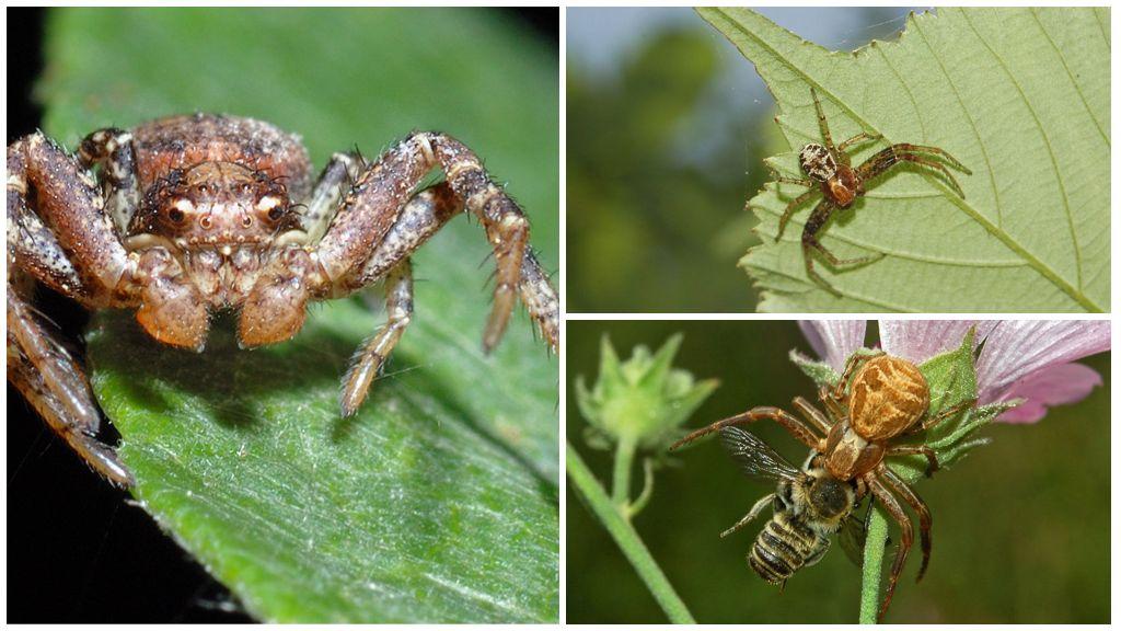 Örümcek bokhod