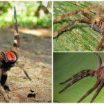 Örümcek serseri
