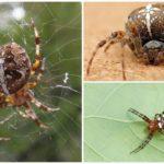 Örümcek çapraz