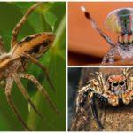 Güvenli örümcek türleri