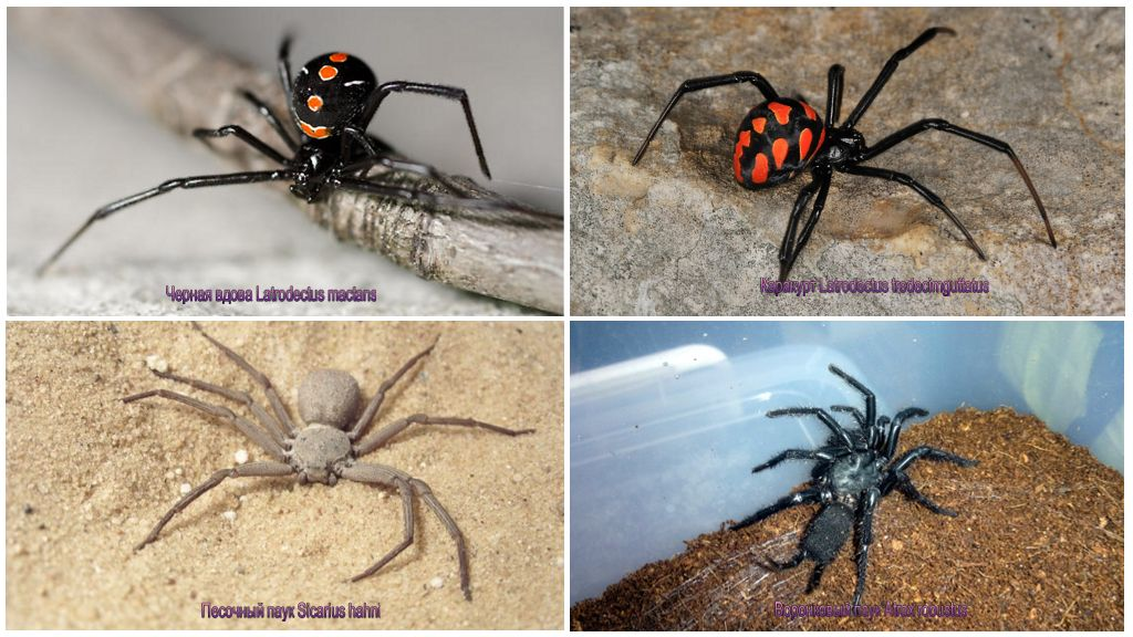 Zehirli örümcekler