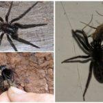 Huni örümcek