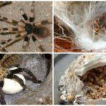 Islah tarantula