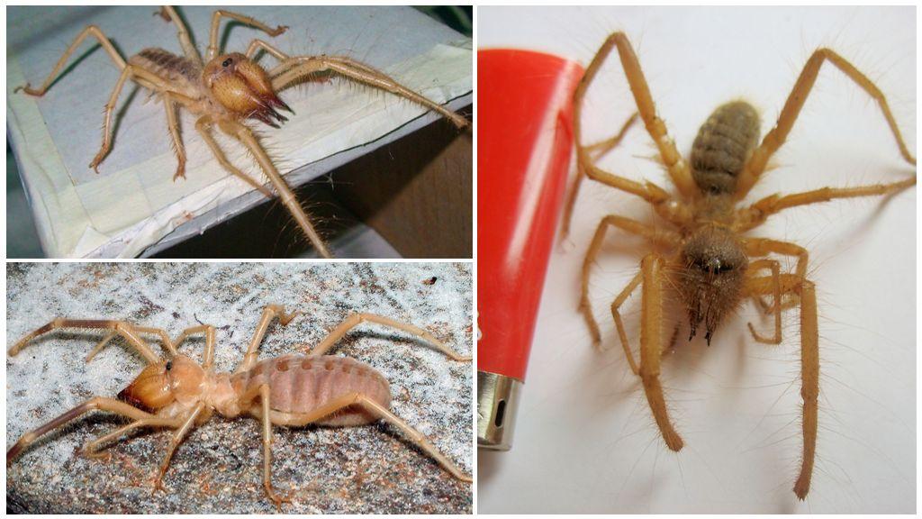 Deve örümcek (solpuga, phalanx örümcek)