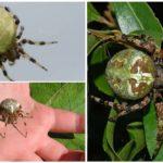 Örümcek türleri krestovikov