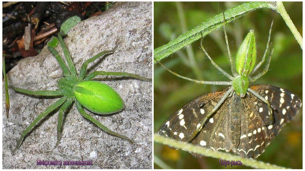 Rusya'nın yeşil örümcekler